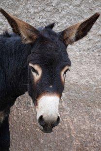 35 donkey sm