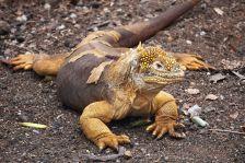 big yellow lizard sm