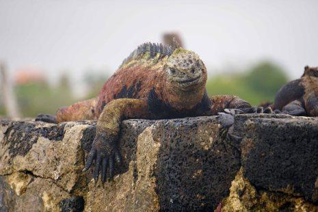 darwin iguana 2 sm