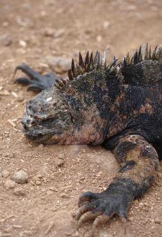 darwin iguana sm