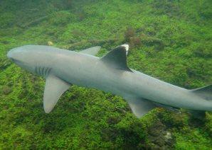 shark sm